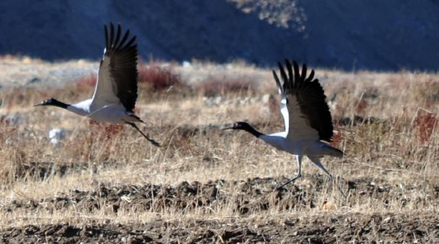 Black necked cranes flying