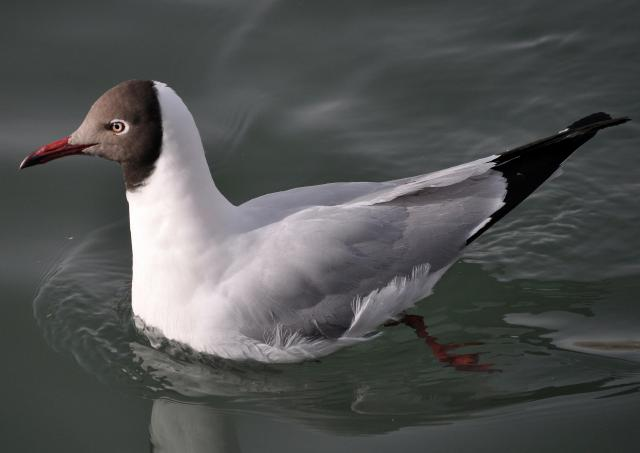 brown headed gull adult breeding plumage