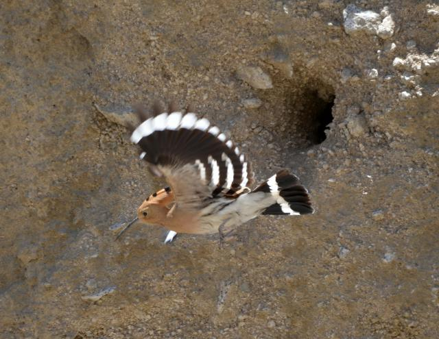 hoopoe flying