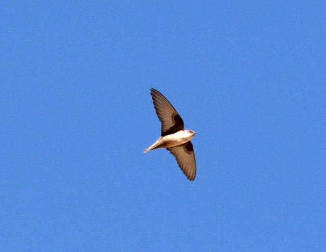 eurasian crag martin flying