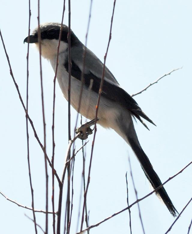 tibetan grey shrike