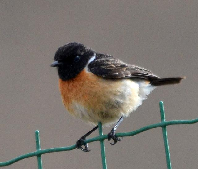 stone chat male
