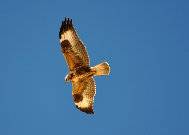 Upland buzzard flying